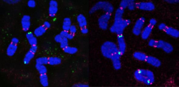 Farr Muntjac chromosomes 590